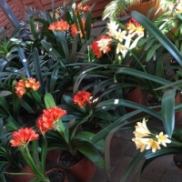 Flower-size Clivias For Sale