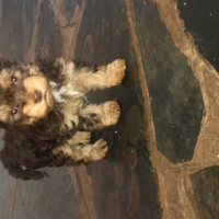 Chocolate male yorkie puppy