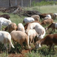 Sheep for Sale - Pedi Ewes and Meat master Rams