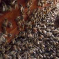 bee removal and advice