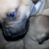 first in s.a Daug puppies for sale Pretoria