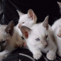 beautiful siamese kittens ready to go now