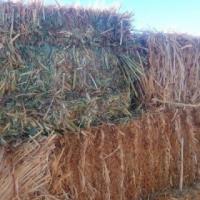 1400 square bales eragrostis for sale