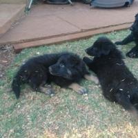 Alsatian x Border collie puppies