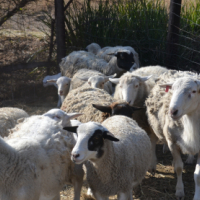 Sheep and geese for sale