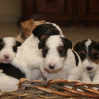 Wire fox terrier puppies available