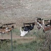 Goats for Sale – Indigenous Veld Goats - Mbuzi
