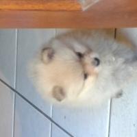 toy pom Pomeranian