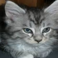 Registered Maine Coon Kittens