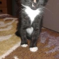 Tuxedo male kitten