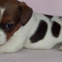 jack russell x foxterrier puppies