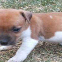 Beautifull Jack Russell puppies for sale