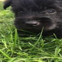 yorkshire terrier x Scottish terrier