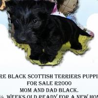 Scottish Terriers Puppies