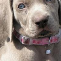 Weimaraner puppies for sale.