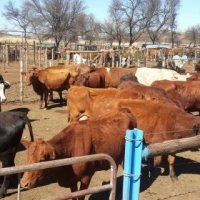 Weekly livestock auctions