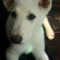 Swiss Sheppard Puppy