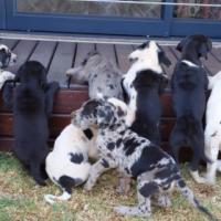 Duitse bloedlyn Great Dane hondjies te koop.