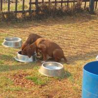 Rhodesian Ridgeback Puppies females