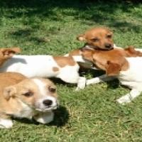 jckrussle cross puppies