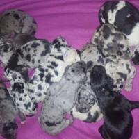 Greatdane puppies
