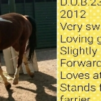 pinto arab x mare for sale.
