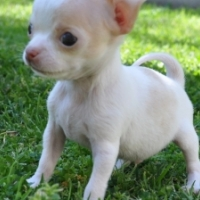 Chihuahuapuppies