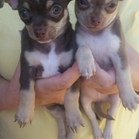 2 Beautifull pure Chihuahua male pups for sale
