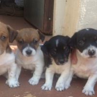 Beautiful Jackrussell puppies !
