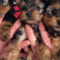 YORKIES 2 FEMALES AND 1 MALE