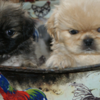 ADORABLE PEKINGESE PUPPIES