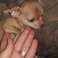 Pedigree 10 week old Chihuahua pup