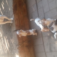 jack russel puppy's
