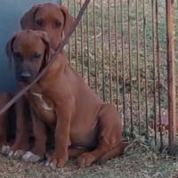 Beautiful female puppies two  from top bloodlines.