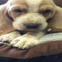 **Charming basset hound  Puppies Available***