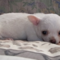 Chihuahua white male pup Parents Kusa registered