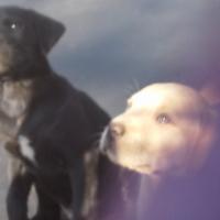 Labradore Puppies.