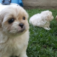 PICAPOODLES PUPPIES (PIKANESE X MALTESE)