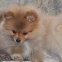 Pomeranian parti Gene pups. Parents Kusa registered.