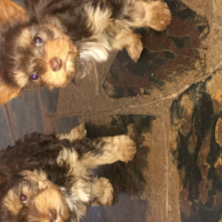 Miniture chocolate brown yorkie male puppy