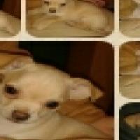 Cutes Chihuahua Male Puppy