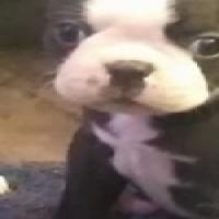 Female Boston Terrier Puppy