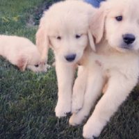 Adorable purebred Golden Retriever Puppies