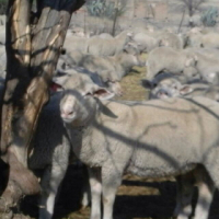 Qurbani sheep for sale
