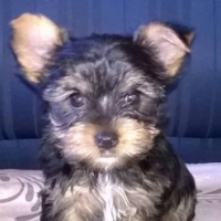 Yorkshire Terrier Male Puppy (KUSA REGISTERED) for sale