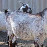 Brea Northern Cape Indigenous Speckled Goats
