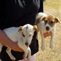 JACK RUSSELL PUPS - ROUGH COAT, WIRE HAIRED, PEDIGREED/REGISTERED