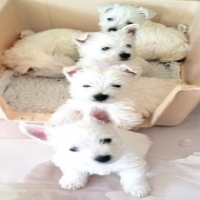 8 weeks old pedigree White West Highland Terrier Puppies