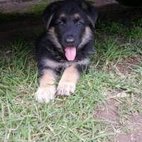 3x german shepherd puppies for sale