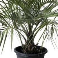 Used, Pindo Palm, Jelly Palm, Butia capitata 20L for sale  Pretoria North